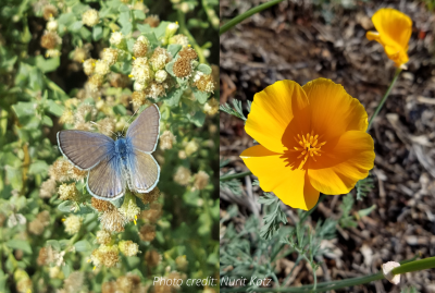 butterfly and poppy biodiversity 400px